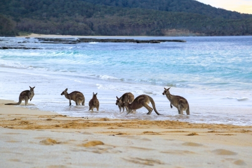 A mob of six eastern grey kangaroos get wet by a wave on Depot Beach
