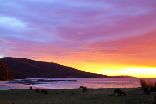 Mob of 7 eastern grey kangaroos grazing on the grass at Depot Beach under a stunning sunset.