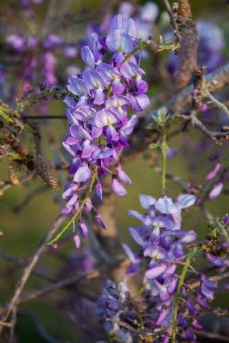 Detail of purple wisteria flowers in Spring