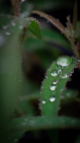 Dew Drops on Lush Green Leaves
