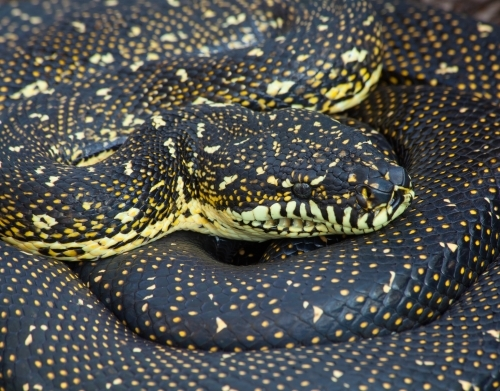 Diamond Python (Morelia spilotes) close-up