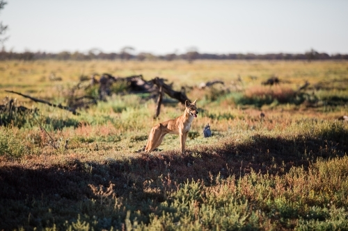Dingo in paddock at farm
