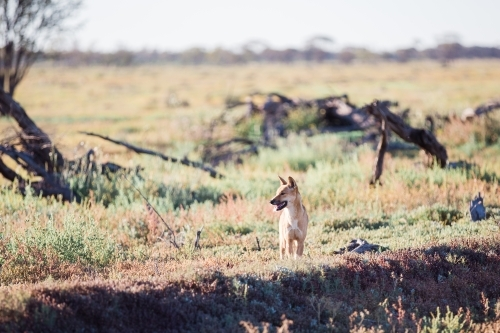 Dingo in paddock looking to the right