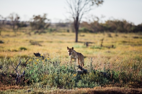 Dingo in the paddock