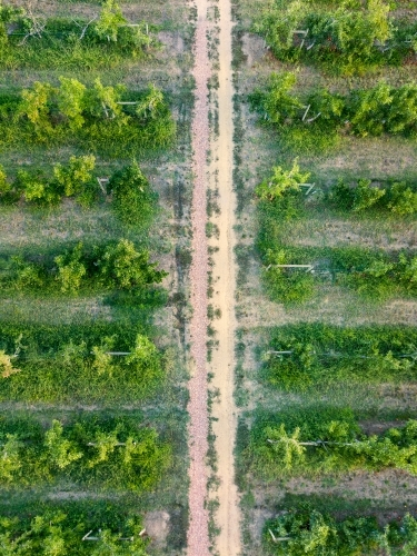 Looking down on a track running between rows of apple trees in an orchard