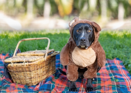 Dog dressed up for a Teddy bears picnic