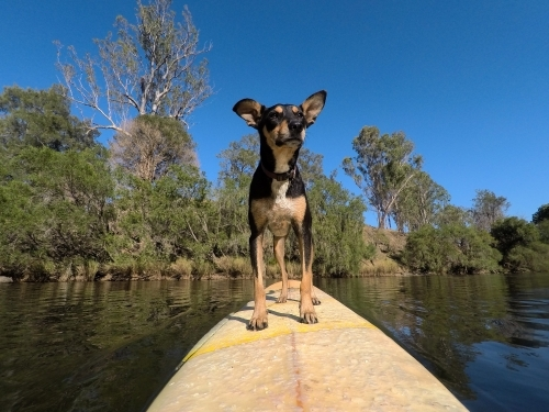 Dog on a surfboard in a river