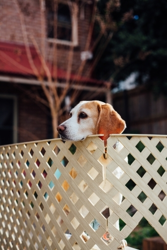 Dog resting head on fence