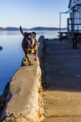 Dog running along the edge of a pier.