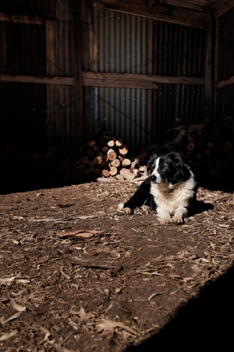 Dog sitting in sunlit area of a shed, in front of wood pile