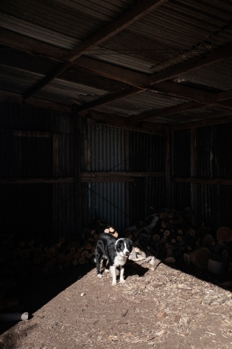 Dog standing in sunlit barn in front of woodpile