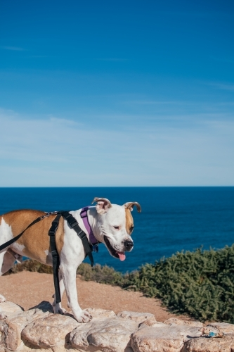 Dog standing on wall at Great Australian Bight