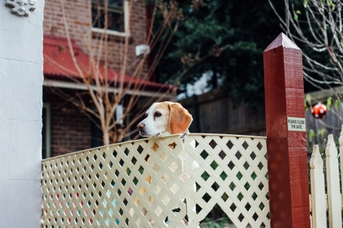Dog staring over fence around home