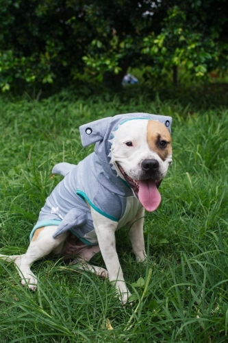Dog wearing a shark costume
