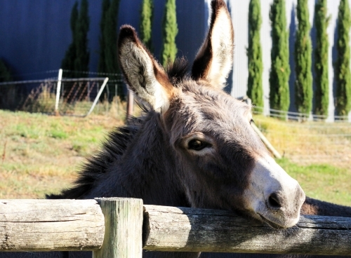 Donkey resting his head on fence