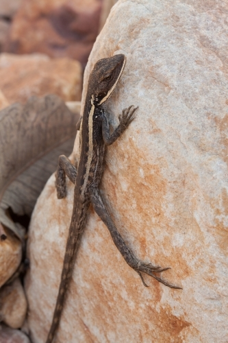 Dragon lizard clinging to a rock
