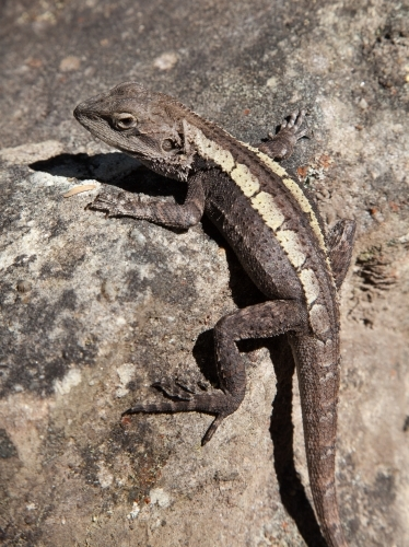 Dragon lizard crouching on a rock