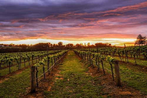 Dramatic sunrise over rows of grapevines