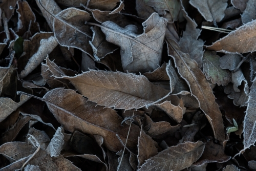 dried autumn leaves in the frost