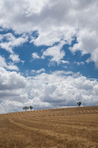 Dry wheatfield after harvest with cumulus clouds