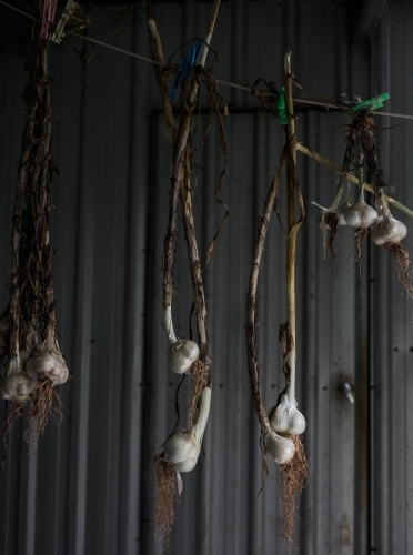 Drying garlic in a shed