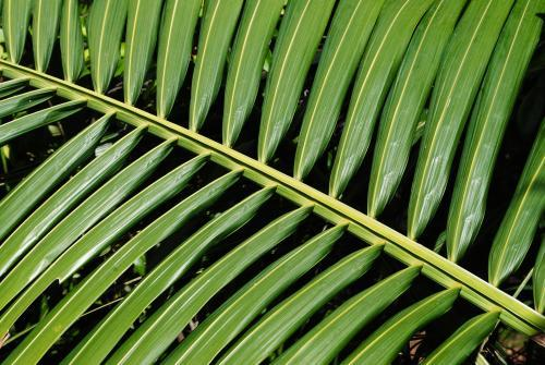 Close-up photo of a green palm leaf