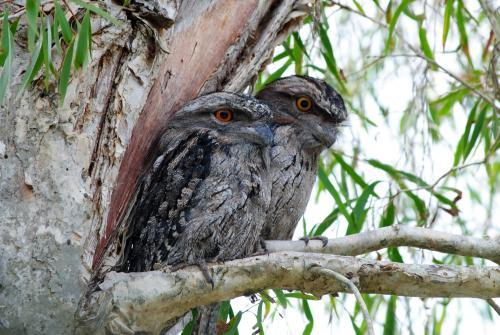 Two Tawny Frogmouths in a tree