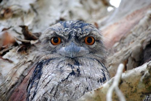 Close-up photo of a Tawny Frogmouth