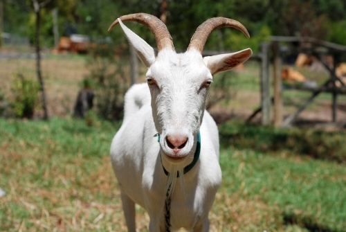 Portrait of a white male goat with large horns