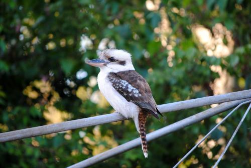 Kookaburra on washing line in backyard