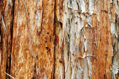 Close-up photo of the bark on a gum tree
