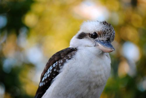 Close-up photo of a smiling kookaburra