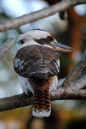 Kookaburra sitting in a tree, seen from behind