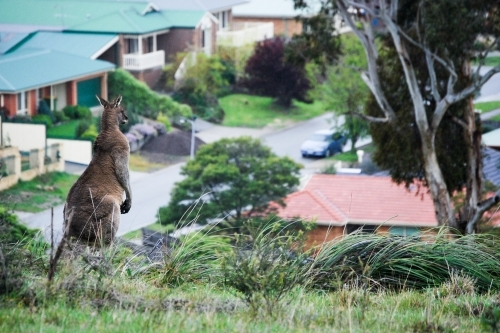 A large male kangaroo looks out of the urban sprawl encroaching on its home