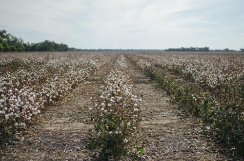 Paddock of dry cotton on a rural cotton farm