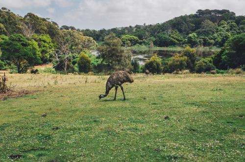 Emu standing in a green paddock