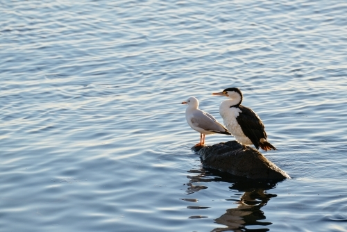 A seagull and a pied cormorant rest together on a rock in the bay