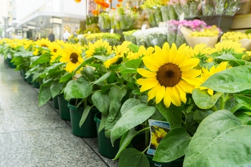 A row of sunflowers in pots at a florists stall in a shopping mall
