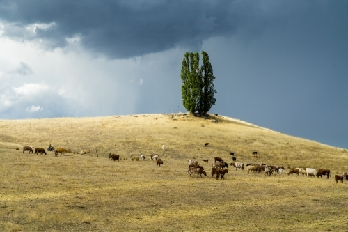 A farmer mustering his cattle on a hillside as a thunderstorm moves in overhead
