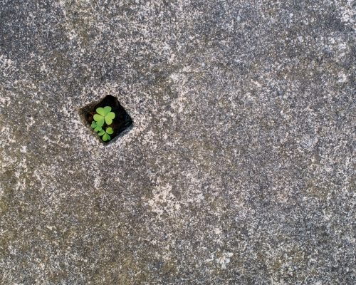 A three leaf clover growing in a small hole in a cement block