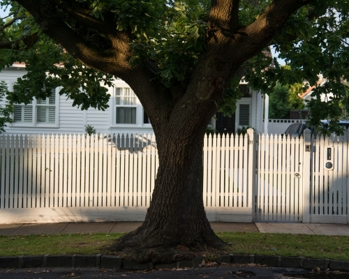 Large tree in front of a white picket fence and white house