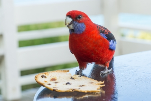 A crimson rosella sitting on a table nibbling on a piece of bread