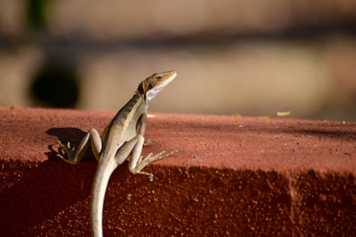 Small lizard sitting on a red brick wall
