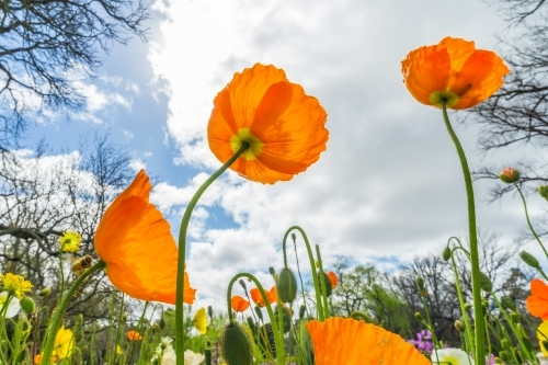 A flower bed of orange poppies highlighted against the sky
