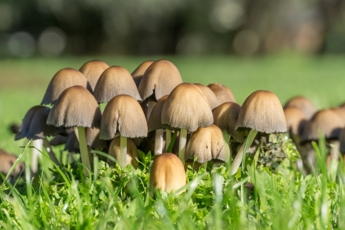 A close up of a group of mushrooms growing in lush green grass