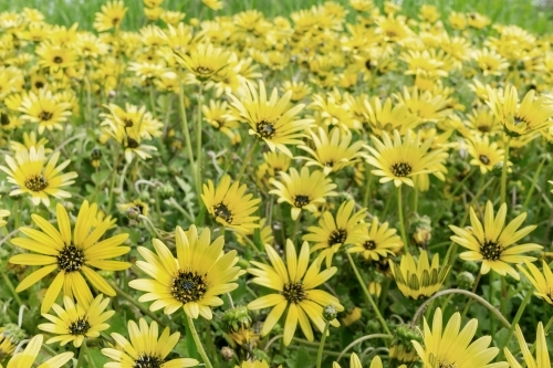A close up of a paddock full of yellow capeweed daisies