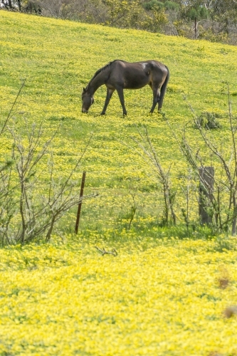 A black horse grazing in a paddock full of yellow daisies