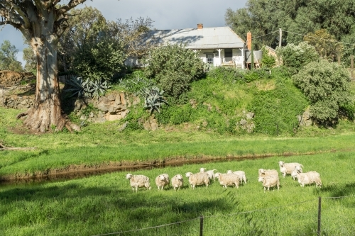 Sheep in a green paddock below a country farmhouse