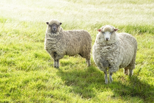 Two sheep standing in a green paddock