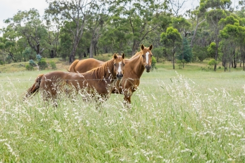 Two brown horses in long grass, looking over a fence